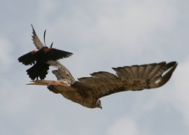 blackbird attacks hawk