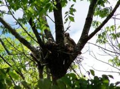 nesting hawks 275