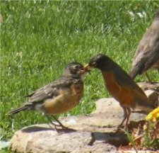 robins-feeding-houska250