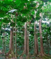 14852063-rainforest-trees-at-tropical-rain-forest-cape-tribulation-in-queensland-australia-lush-jungle-with-f