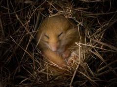 hibernation-dormouse