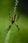 garden-spider-crawling-on-web_1200x1800