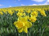 daffodils-scot