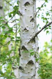 White-Birch-Tree-321549