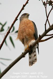hawk_coopers_adult_winter_california_3a