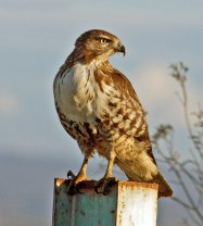 Red-tailed-Hawk_MV203